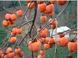 Photo of persimmon fruit tree