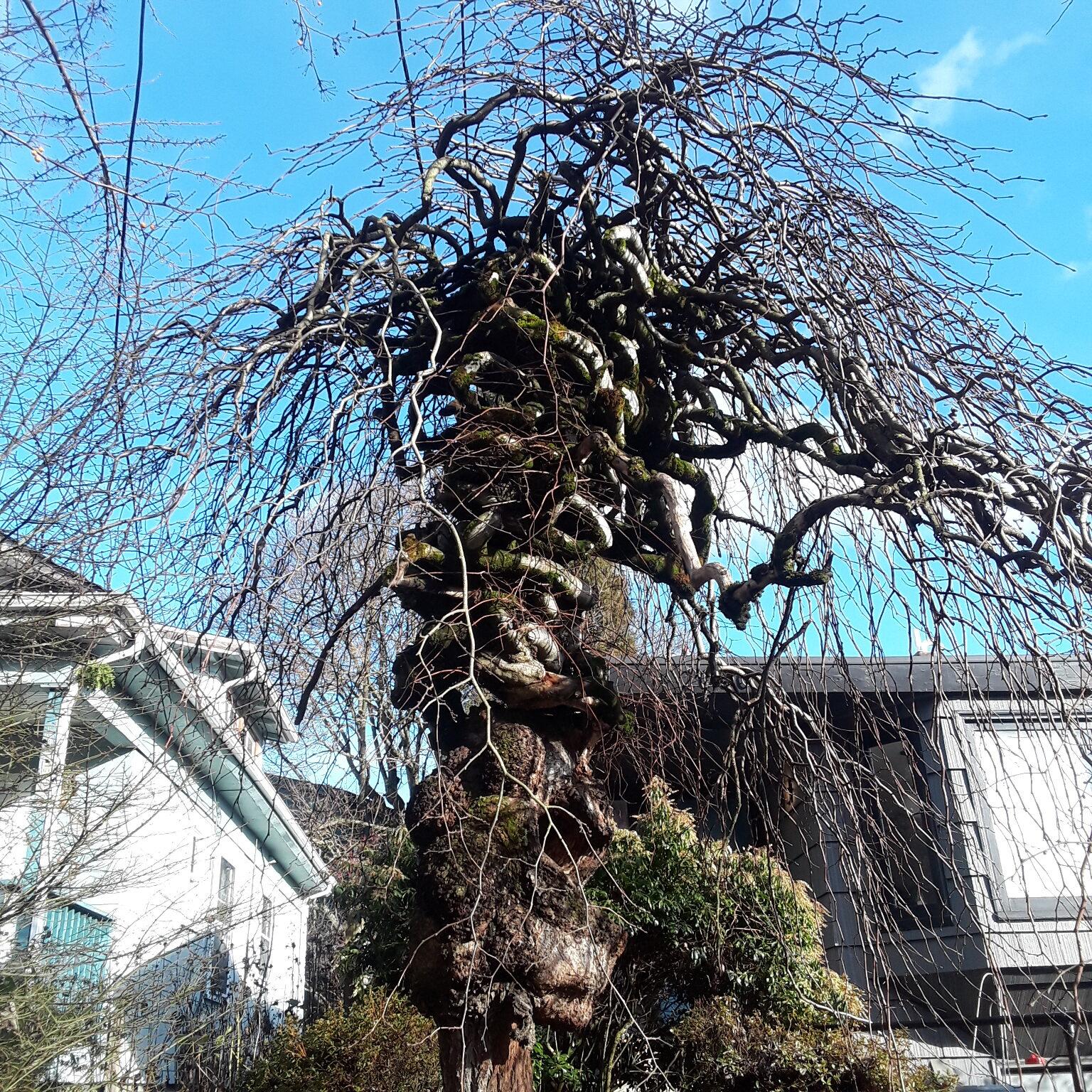 A neat Richmond Tree